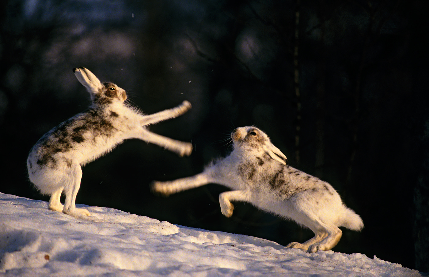 Mountain hare (Lepus timidus) fight. Middle-Norway